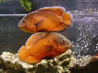 Riger Oscar Breeding Pair Fish