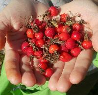 Berries of dried rose hip Siberian