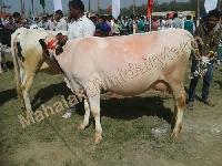 Original Karan Swiss Cow
