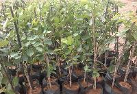 Jamun Plants