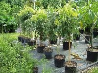 Lychee Plants