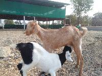 Cross goats