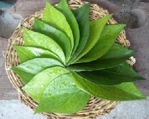 Fresh Betel Leaves