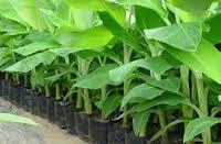 Banana Tissue Culture Plants