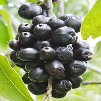 Black Plum Fruits Plant