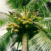 Coconut Tree Fruits Plant