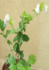 Mogra Flower Plant