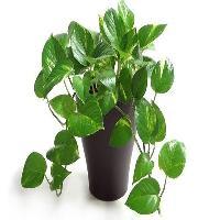 Money Plant Indoor Plant