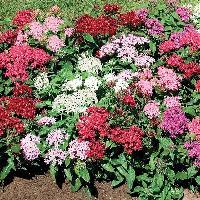 Pentas Flower Plant