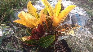Petra Indoor Plant