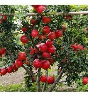 Pomegranate Fruits Plant