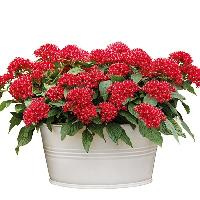 Red Pentas Indoor Plant