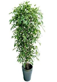 Variegated Ficus Indoor Plant