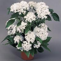 White Pentas Indoor Plant