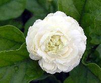 Jasmine Plants