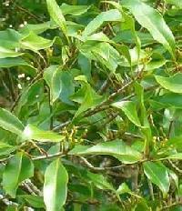Fresh Clove Leaf