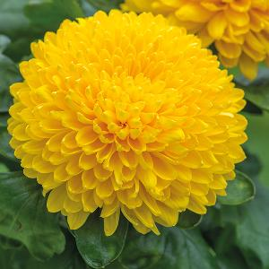 Chrysanthemums flower manufacturers suppliers exporters in india fresh chrysanthemum flower mightylinksfo