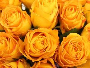 Fresh Dark Yellow Button Rose Flowers