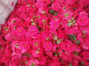 Fresh Light Pink Button Rose Flowers