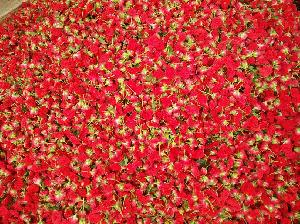 Fresh Red Button Rose Flowers