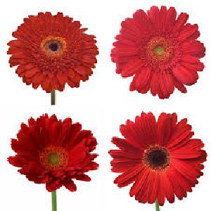 Fresh Red Gerbera Flowers