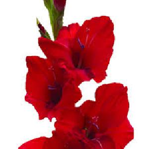 Fresh Red Gladiolus Flowers