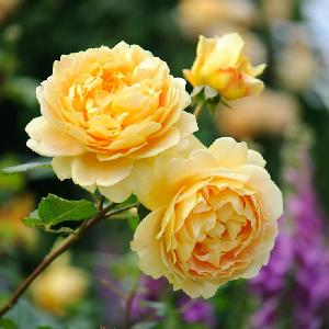 Fresh Shine Yellow Button Rose Flowers