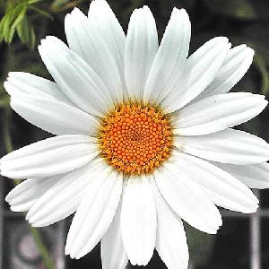 Fresh White Gerbera Flowers