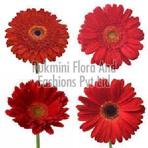 Fresh Red Gerbera Flowers