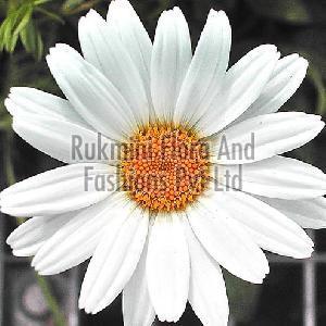 Fresh White Gerbera Flowers