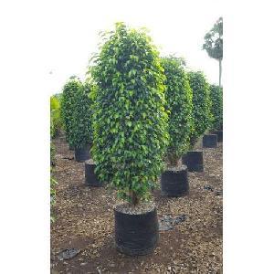 Ficus Backyard Plant