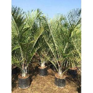 Triangle Palm Plant