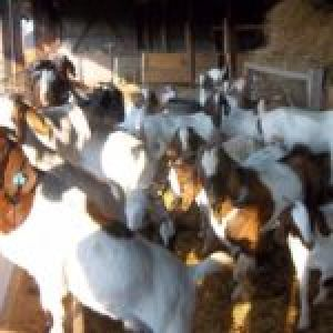 BOER GOATS AVAILABLE NOW IN STOCK