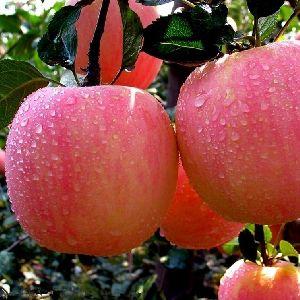 Fresh fuji apples fuji apple price honey fuji apple