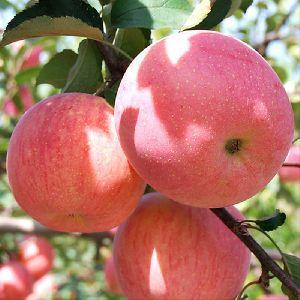 new fresh fruits red fuji apples