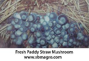 Paddy Straw Mushroom Spawn