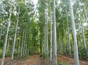 Nilgiri Tree Tissue Plant