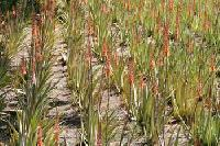 Aloe Vera Plants