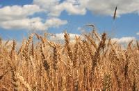 Organic Wheat