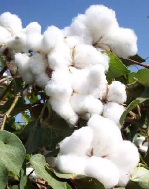 Raw Cotton