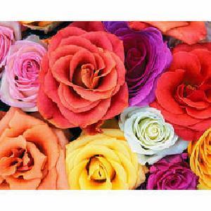 Fresh Dutch Rose Flower
