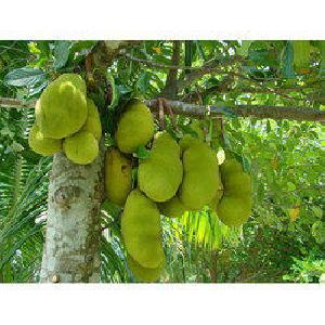 Jack Fruits Plants