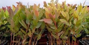 Uk liptus plants