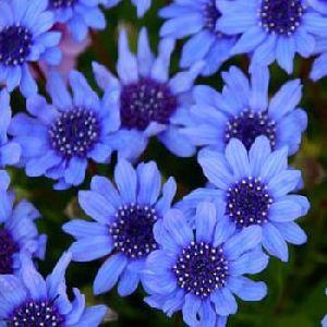 Fresh Blue Daisy Flowers