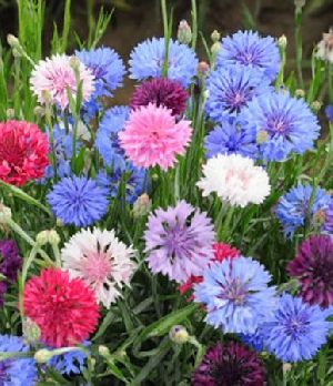 Fresh Button Flowers