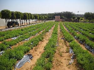 Zindagi Stevia Plants