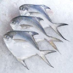 Fresh Silver Pomfret Fish