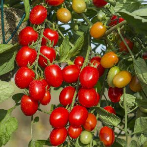 Hybrid organic vegetable tomato seeds
