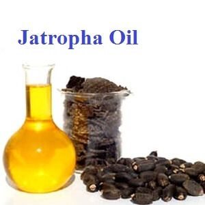 Jatropha Oil Seeds