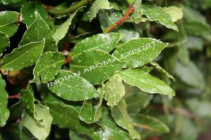 Natural Bay Leaf Essential Oil